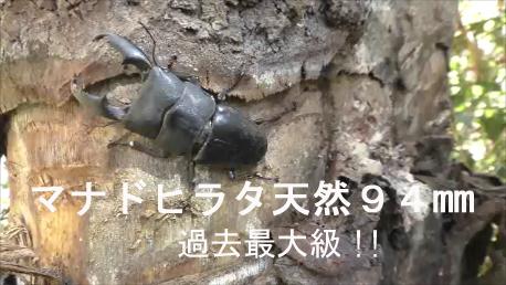 京阪中書島駅そばにある『バイオインセクト』と言う昆虫ショップにたくさんのクワガタ
