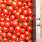 先日は、ミニトマトの収穫のお手伝いをしました。