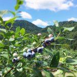 南信州の朝晩の寒暖の差がある気候は、ブルーベリーの栽培にとても適しているようです