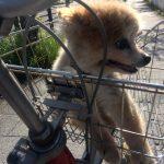和泉市のいぶき野でポメラニアン風の迷い犬を保護しました。