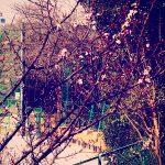 北新宿公園、桜開花?確かこの木は桜だった記憶がありますが、でもさすがに桜は早い