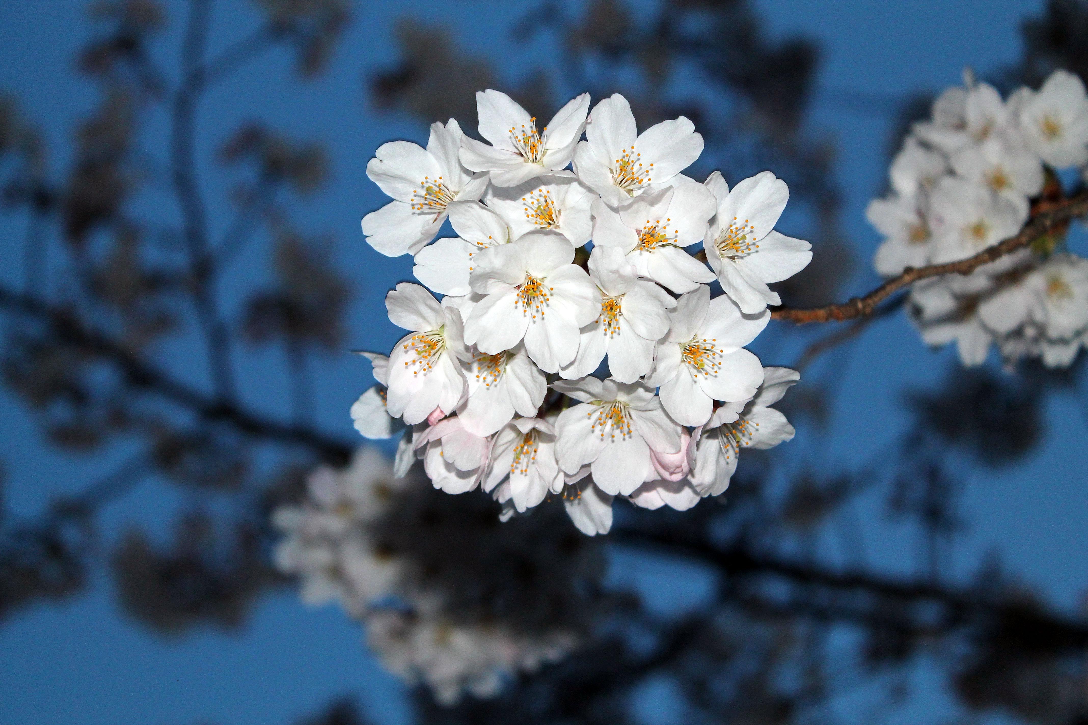 夜桜が見ごろ