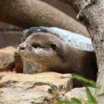 【こども動物自然公園】コツメカワウソが新しく仲間入りしました!!