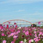 日本一長い水管橋からコスモス畑を眺めてみませんか