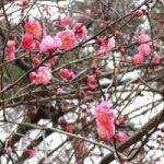 【大宮第二公園】第34回梅まつりが開催されます!