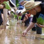 【食育体験教室】田んぼでお米をつくろう!