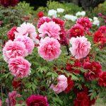 大仙公園の日本庭園で牡丹展。