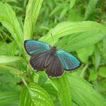 県の蝶ミドリシジミを見る集い2018